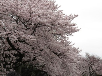 20160402新宿御苑お花見ランチ⇒浅草工事現場 その1